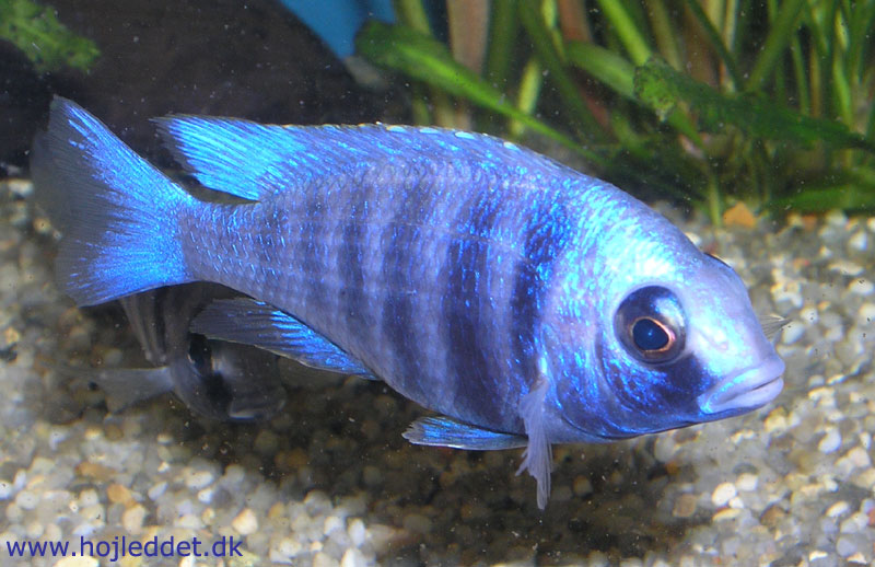 My Placidochromis sp.
