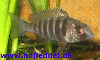 Placidochromis sp.