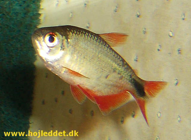 I assume this is a Buenos Aires tetra male