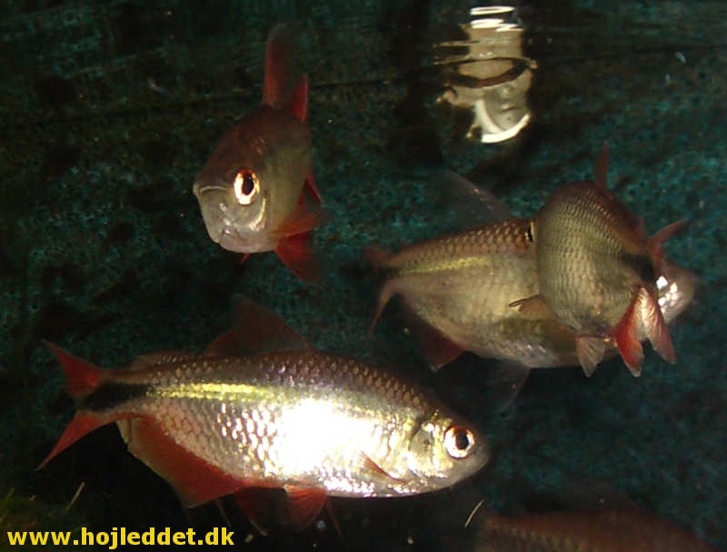 Another picture of a small school of Buenos Aires tetra