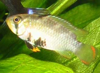 The nijsseni female is quite pretty as well - it is approximately ½ size compared to the male.
