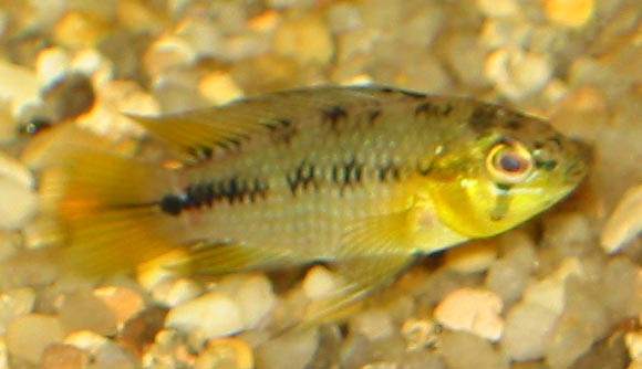 Male Apistogramma sp.