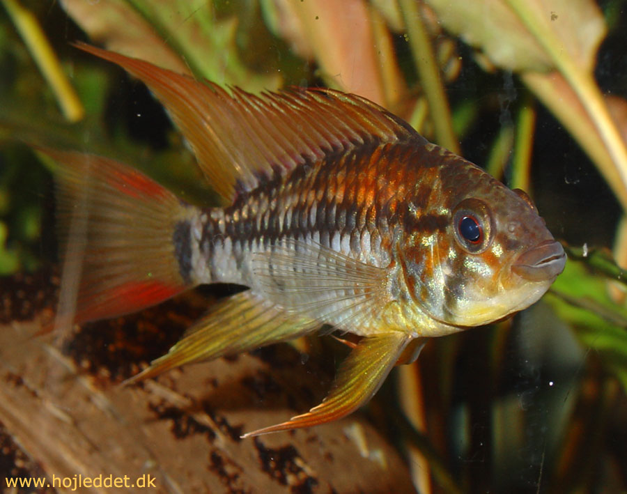 Here is the A. viejita male, captured with a Sony DSC-V1.