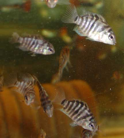 The convict cichlid is very easy to breed - the fry here are about 1½cm