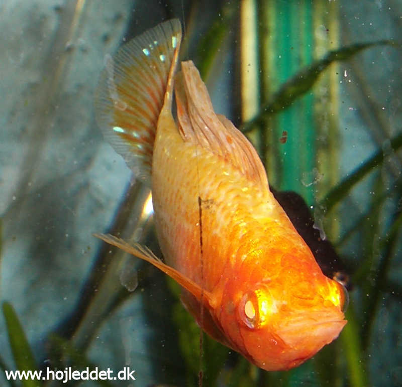 Here is a picture of my albino sailfin male from the front.
