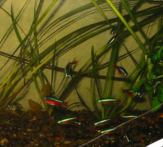 Here is a school of Cardinal Tetras.