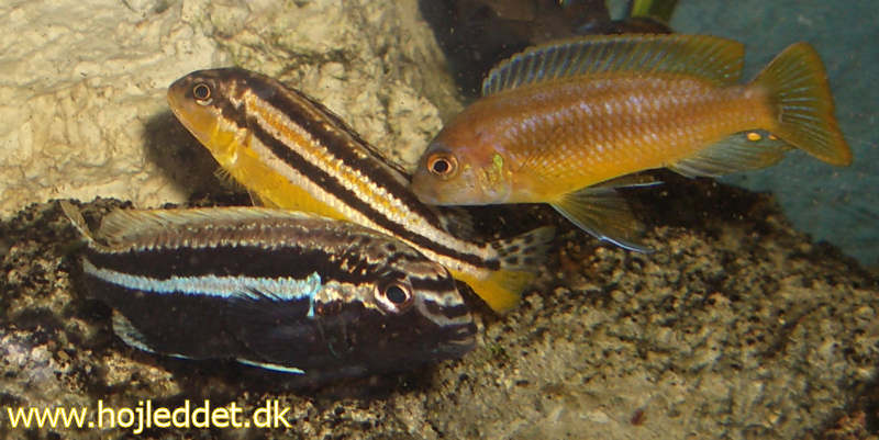 Pair of Melanochromis auratus (male dark/light blue - female yellow/blue) with a curious  M. johannii male.
