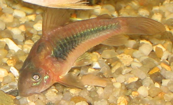 The Bronze Corydoras is a bottom dweller and rarely swims to the surface.