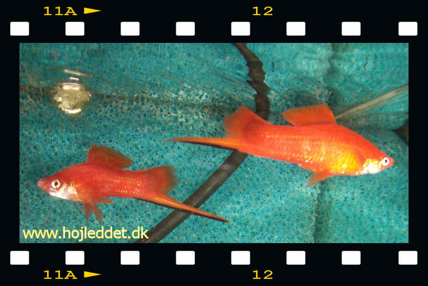 Two Swordtail males - you will often see quite a bit of fighting when having 2 or more males in the same tank.