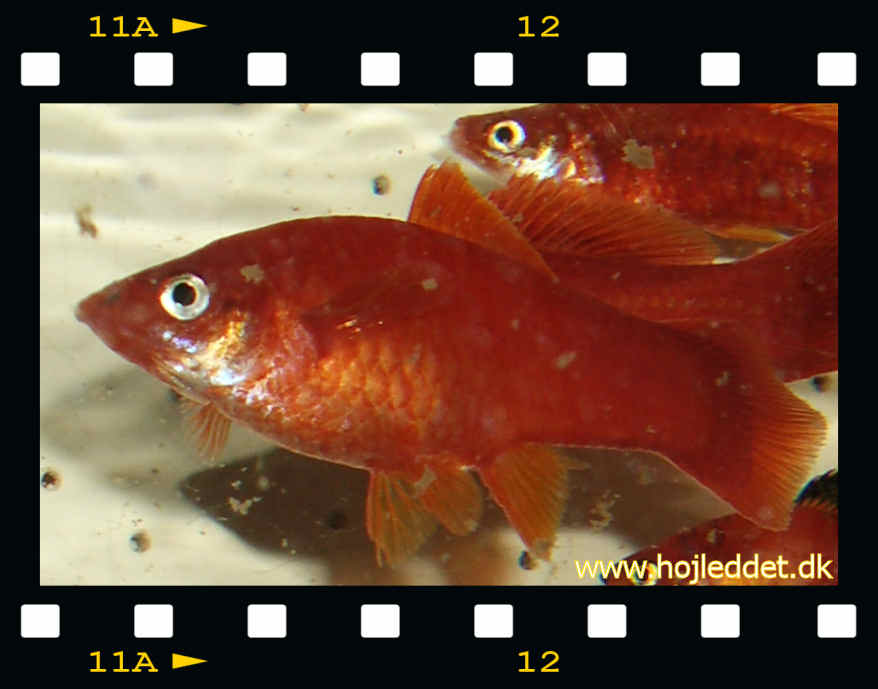 Two Swordtail females.