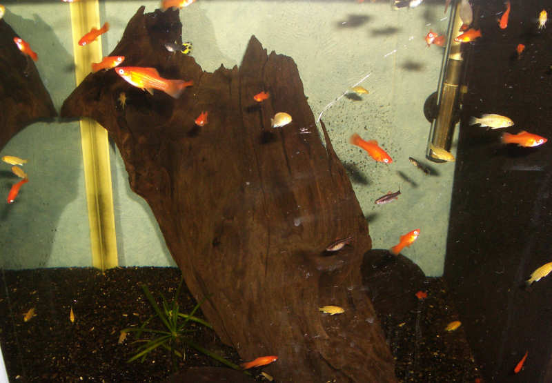 The female Swordtail is very productive, I think the first batch was close to 100 fry.