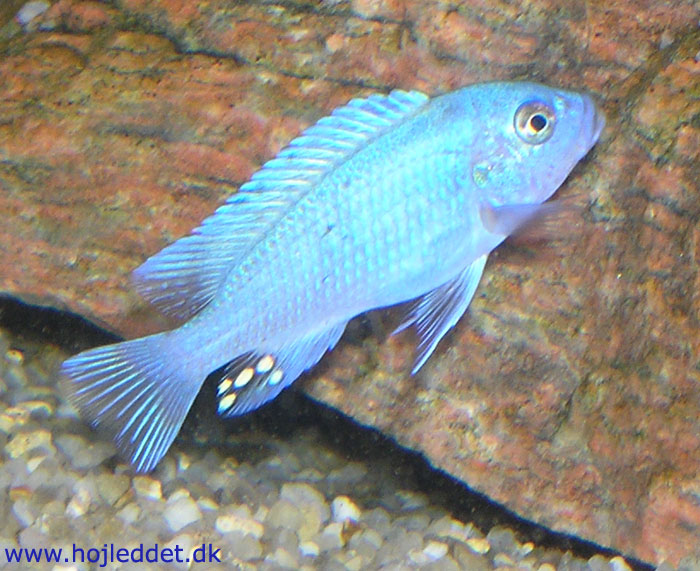 metriaclima callainos sp bright blue